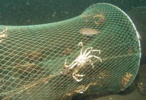 Reuse mit vielen Jungfischen und Krebstieren, aufgenommen zwischen den beiden Riffen im Ostseebad Klues.